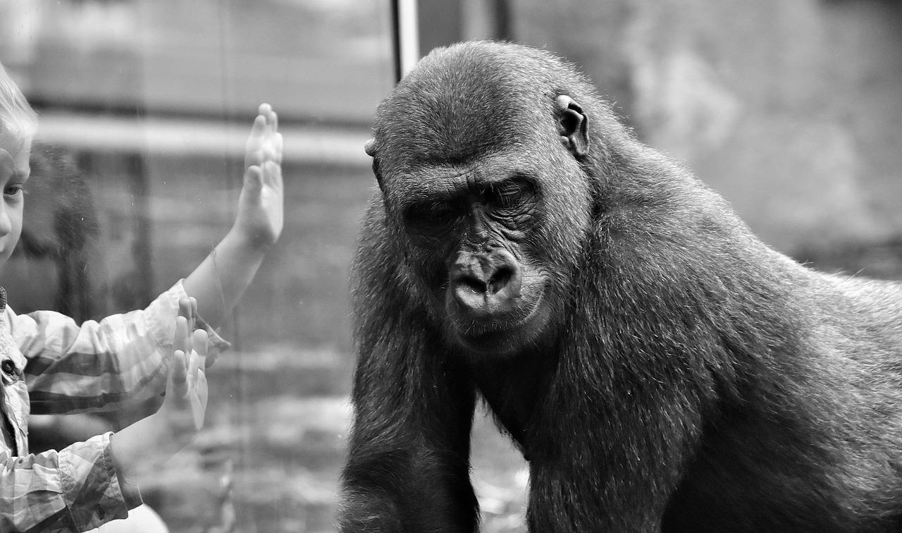 gorilla-2320407_1280